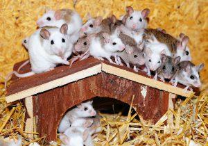 Gentechnisch veränderte Mäuse